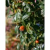 Cotoneaster, L26