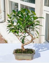 Ficus Retuza, L15