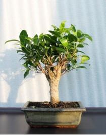 Ficus Retuza, L20, broom