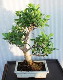 Ficus Retuza, L25