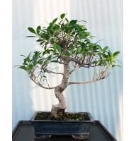 Ficus Retuza, L30