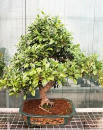 Ficus Retusa, L60