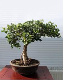 Ficus Triangularis, L28