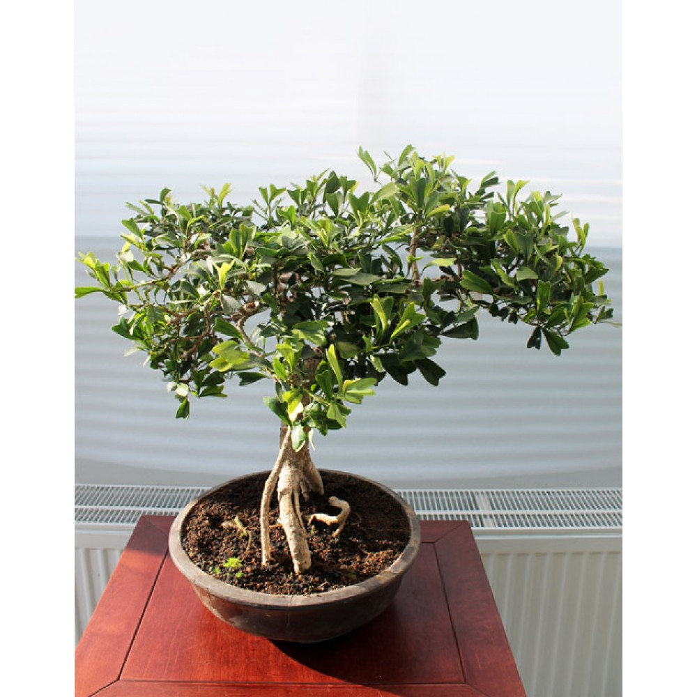 Ficus Triangularis, L28