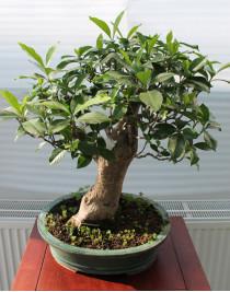 Gardenia, L37
