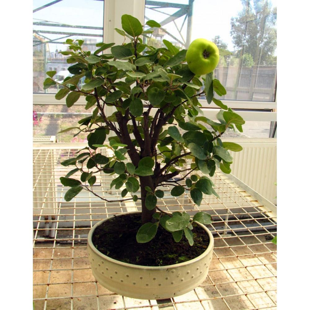 Apple tree, L30