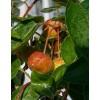 Apple tree, L15