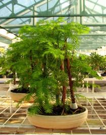 Метасеквойя, L26, лес 5 деревьев