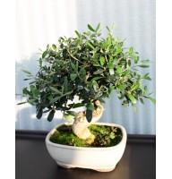 Оливкове дерево, L18