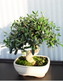 Оливковое дерево, L18