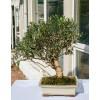 Оливковое дерево, L25