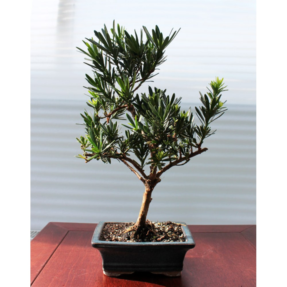 Podocarpus, L15