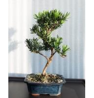 Podocarpus, L20