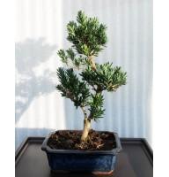 Podocarpus, L25