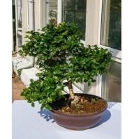 Syzygium, L35