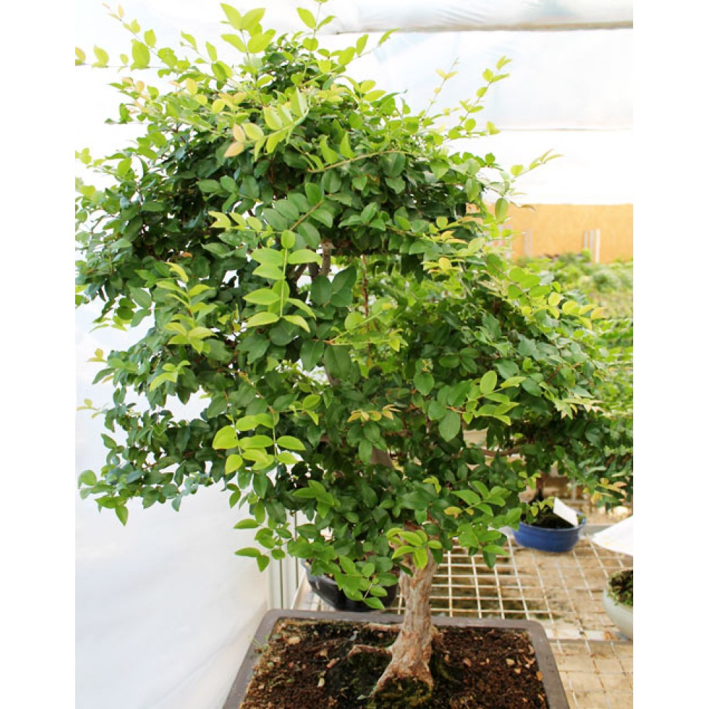 Syzygium, L50