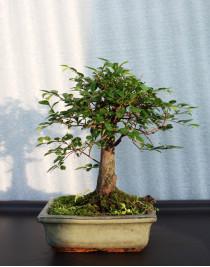 Small-leaved elm, L15, broom