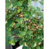 Small-leaved elm, L15, curved