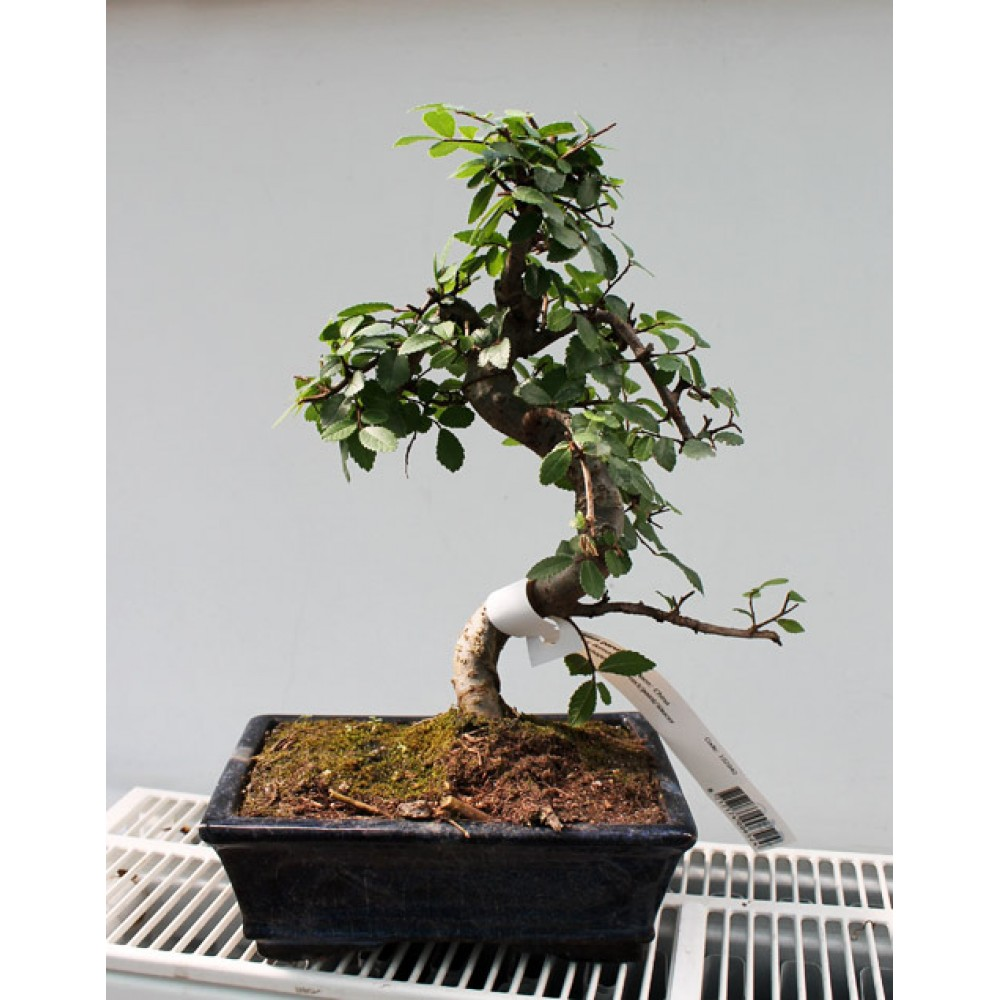 Small-leaved elm, L20, curved