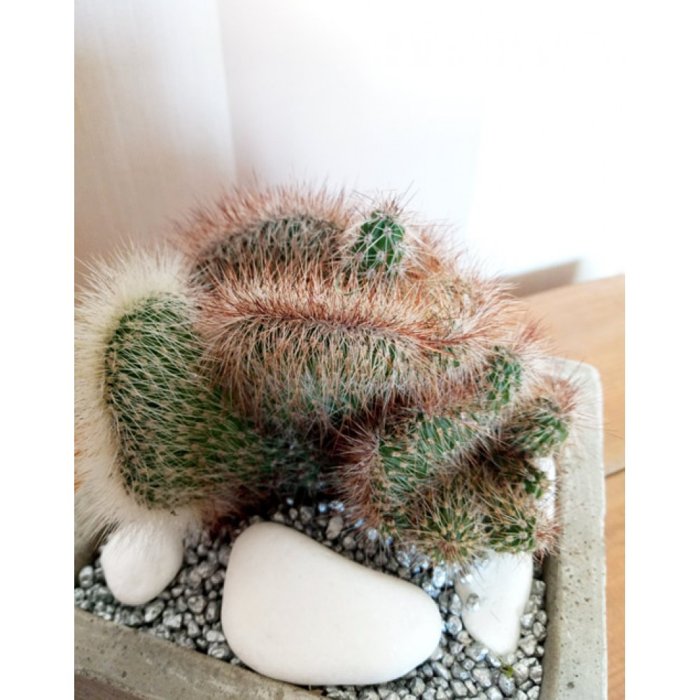 """Composition from the cactus """"Thorny and fluffy"""""""