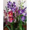 "Orchid arrangement ""Spring Morning"""