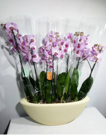 """Composition of Phalaenopsis orchids """"Lady Pink"""""""