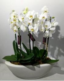 """Композиція з білих орхідей """"Леді Вінтер"""""""