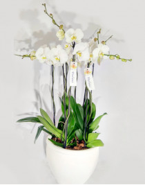"""Composition of royal orchids """"Royal White"""""""