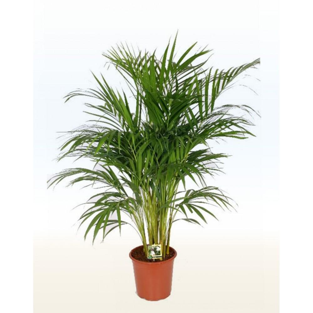 Areca, Chrysalidocarpus