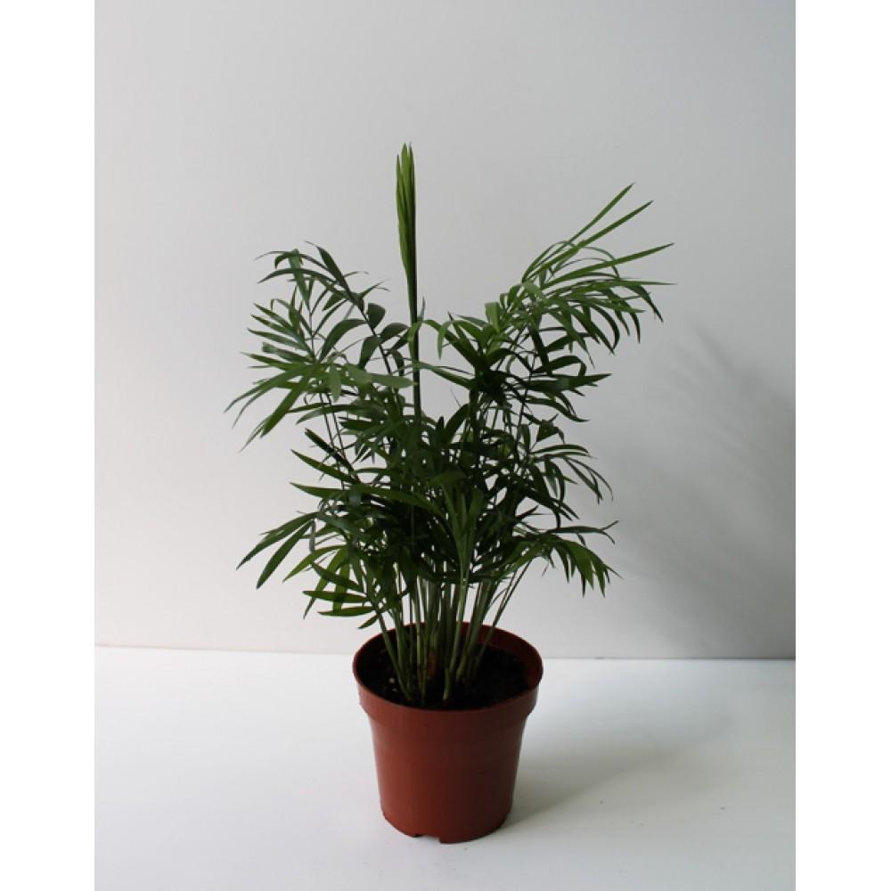 Хамедорея, бамбуковая пальма