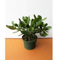 Crassula, Money tree