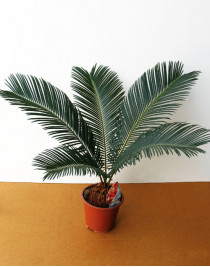 Cicas, sago palm
