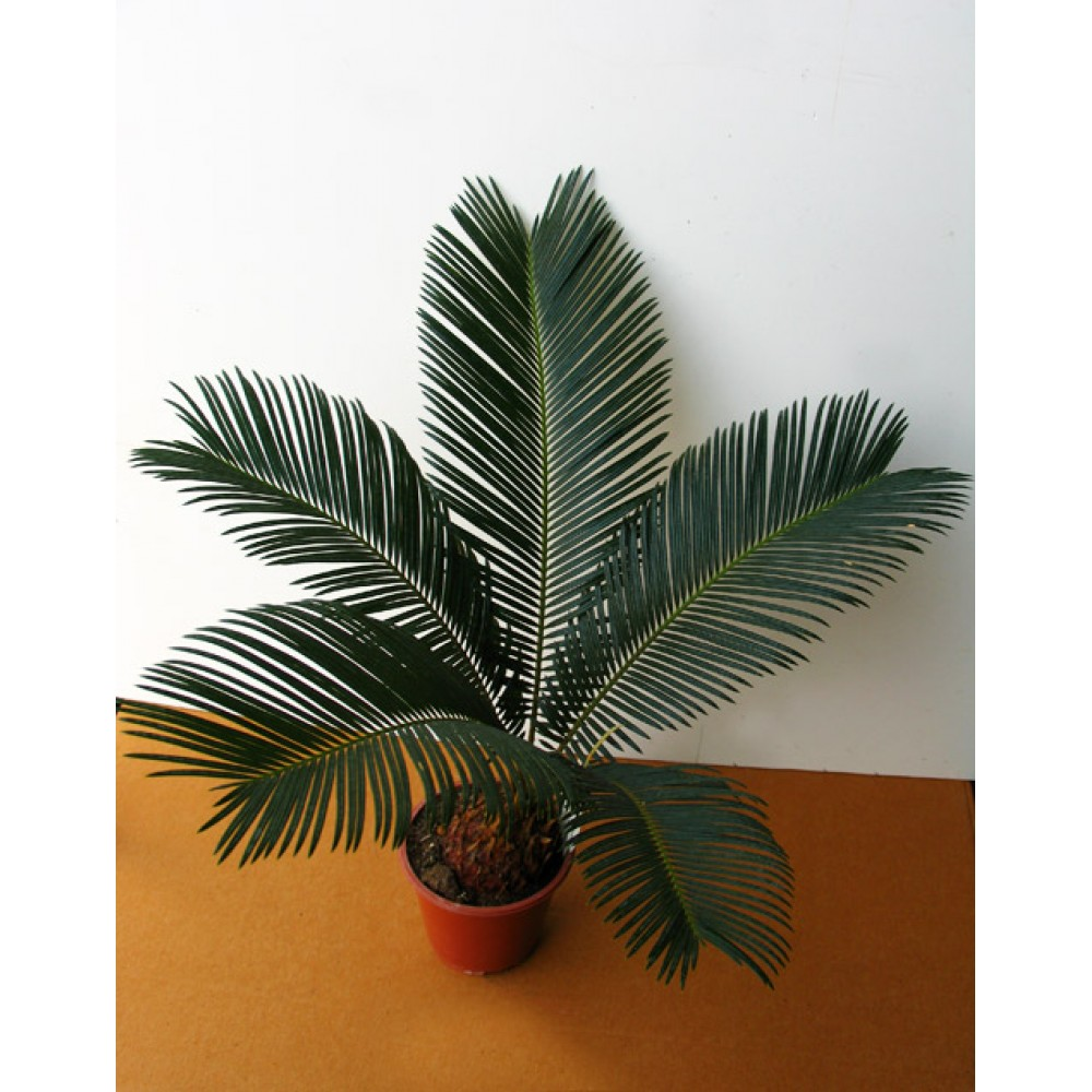 Цикас, саговая пальма