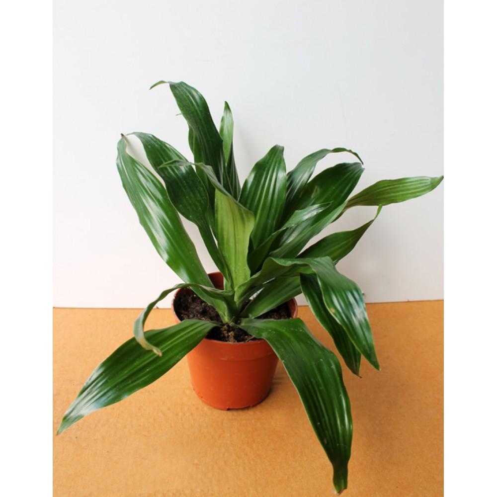Dracaena deremensis Green Jewel