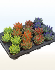 Echeveria Rainbow, colored