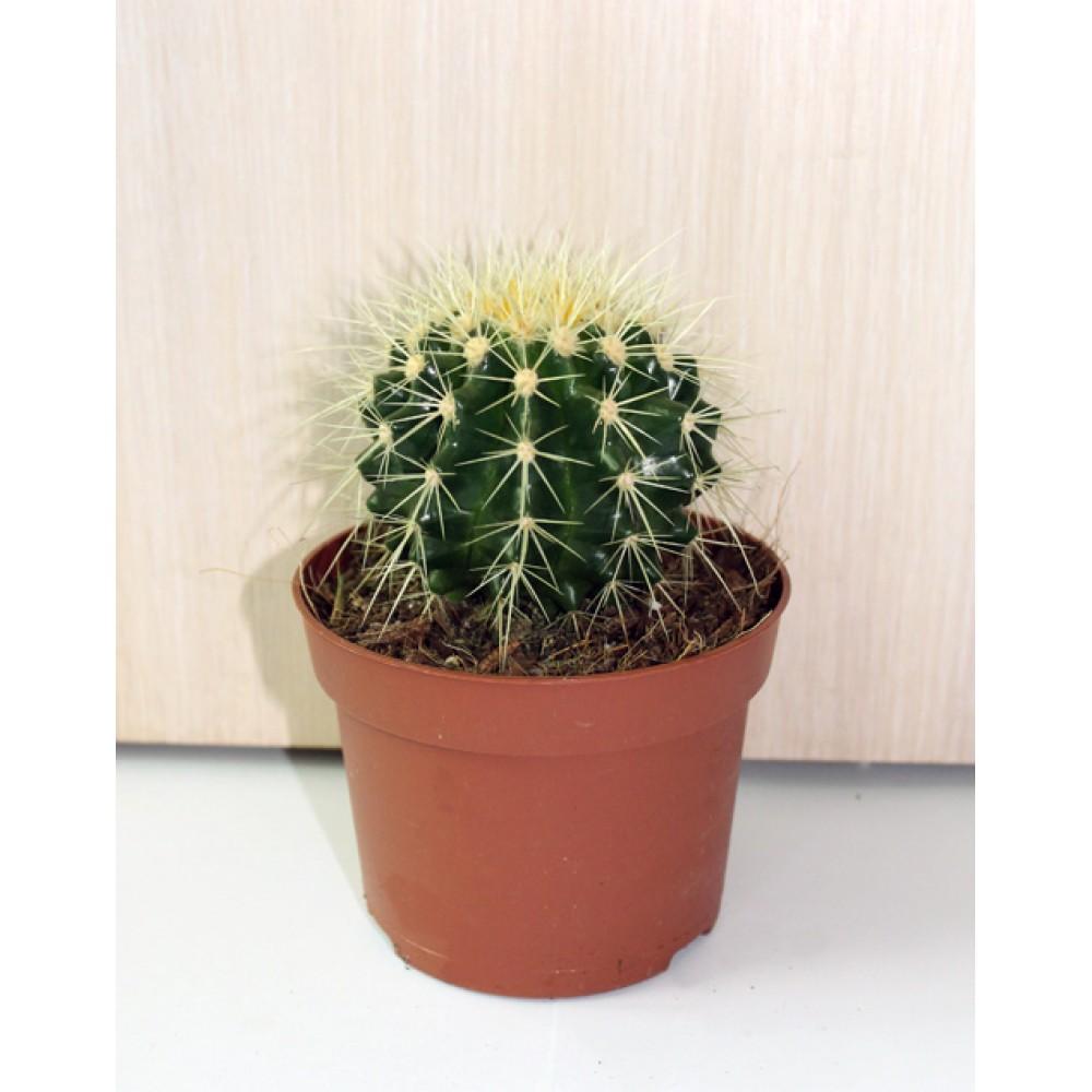 Echinocactus Gruzoni
