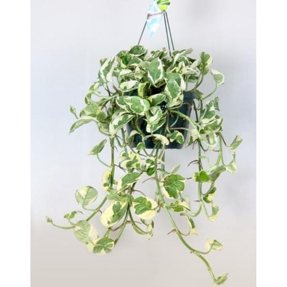 Епіпремнум pinnatum підвісний