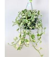 Epipremnum pinnatum suspended