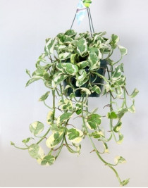 Эпипремнум pinnatum подвесной