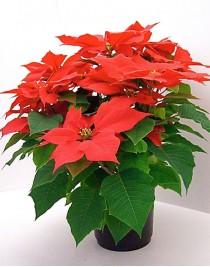 Пуансетія, Різдвяна зірка