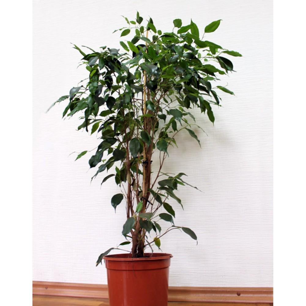 Ficus benjamin large