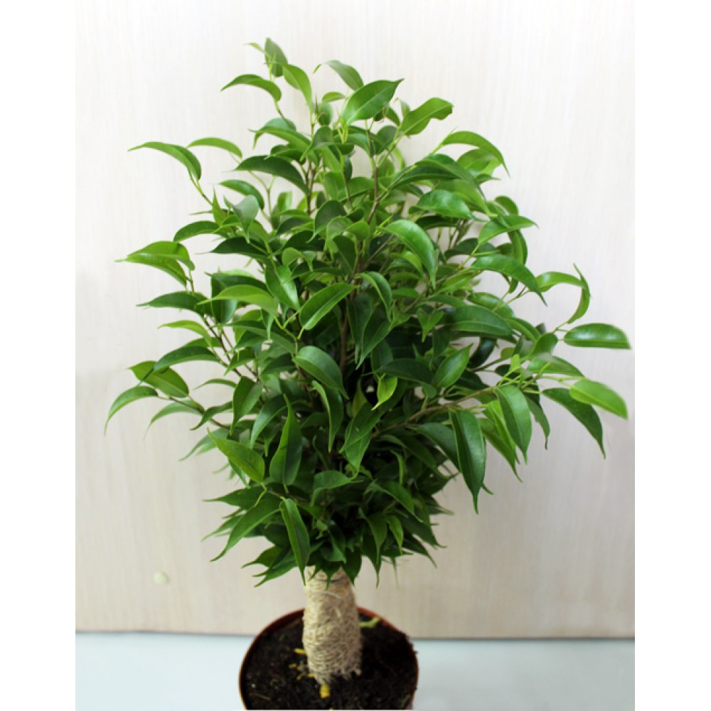 Ficus benjamina Natasha jute