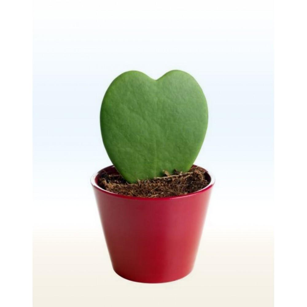 "Hoya Kerry, ""Valentine"""