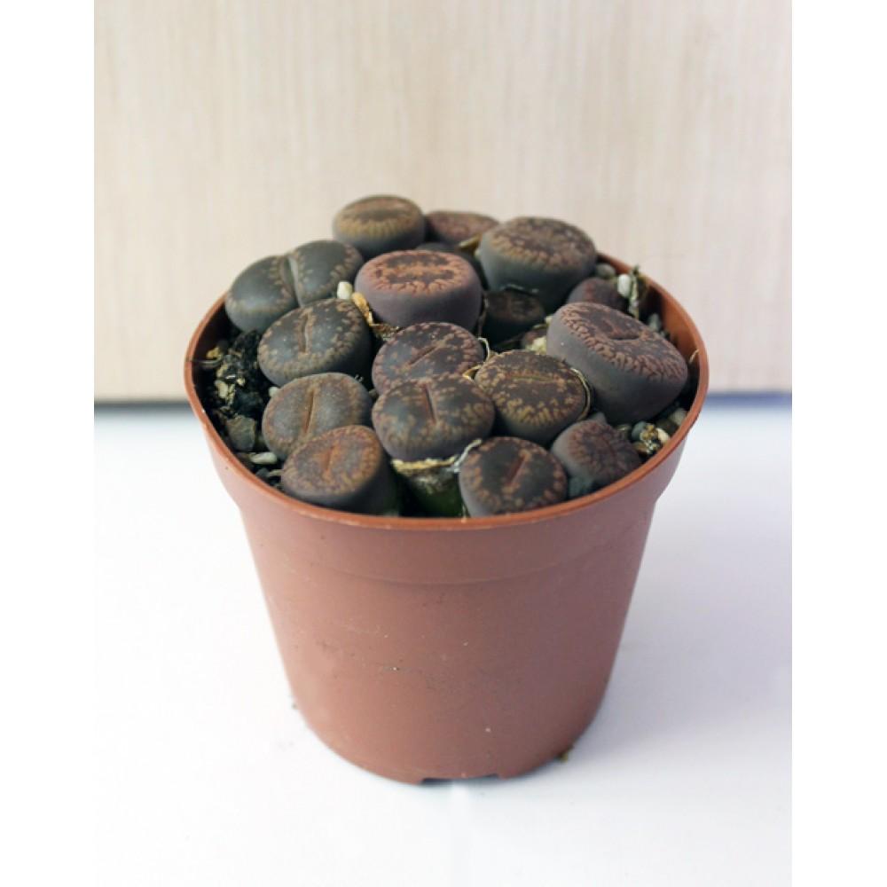 Литопсы (живые камни)