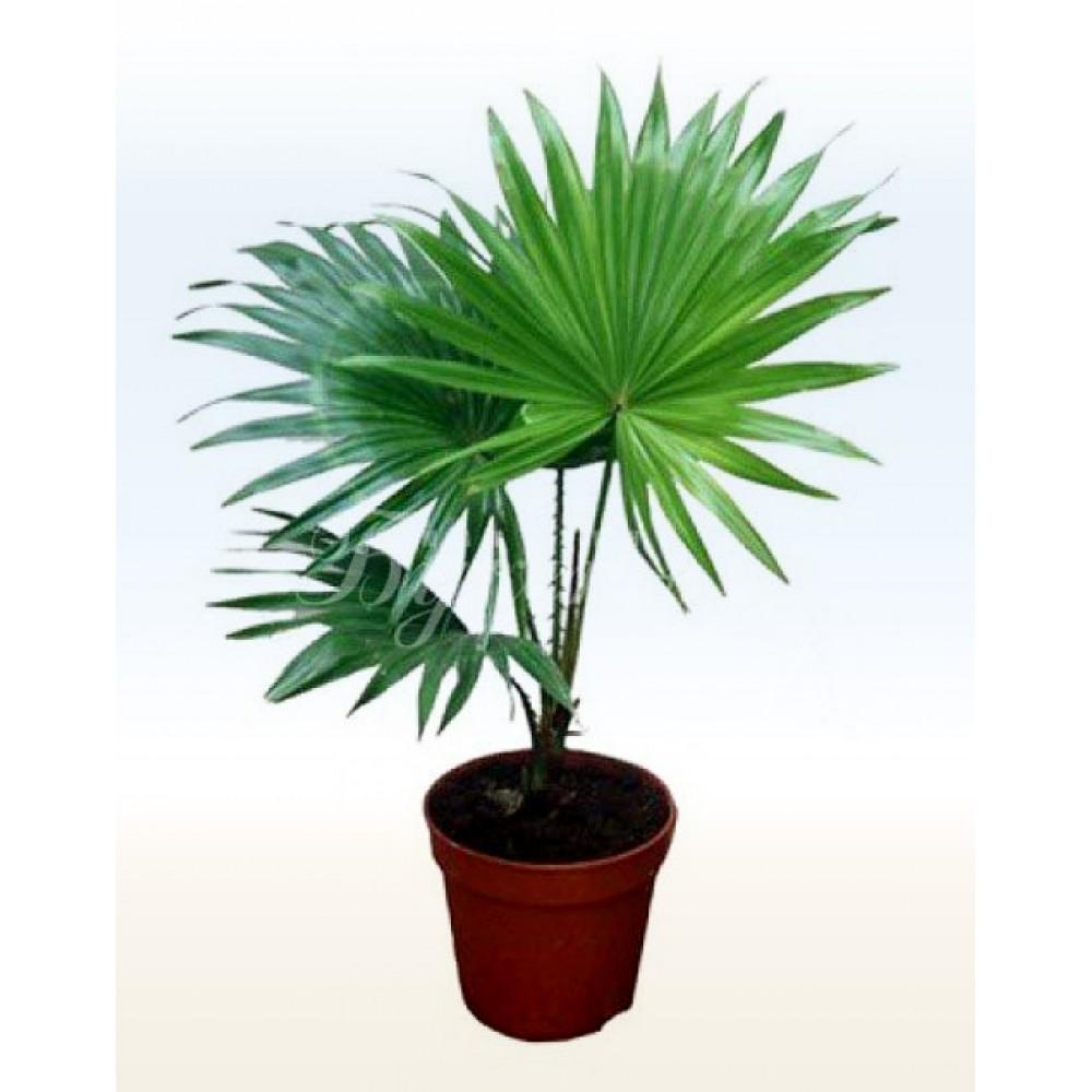 Ливистона, пальма