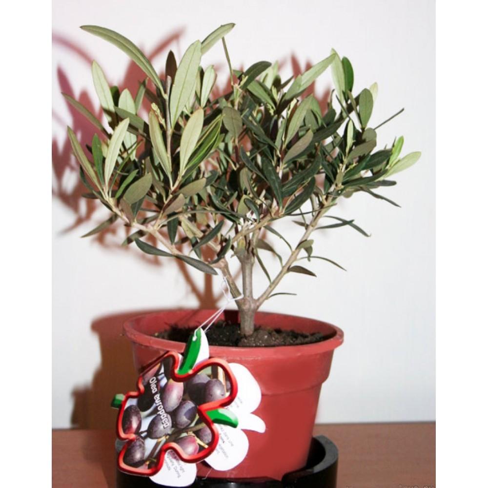 European olive, olive tree