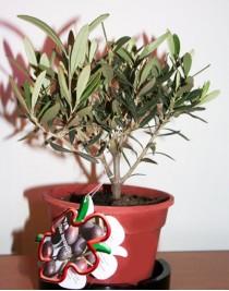 Олива европейская, оливковое дерево
