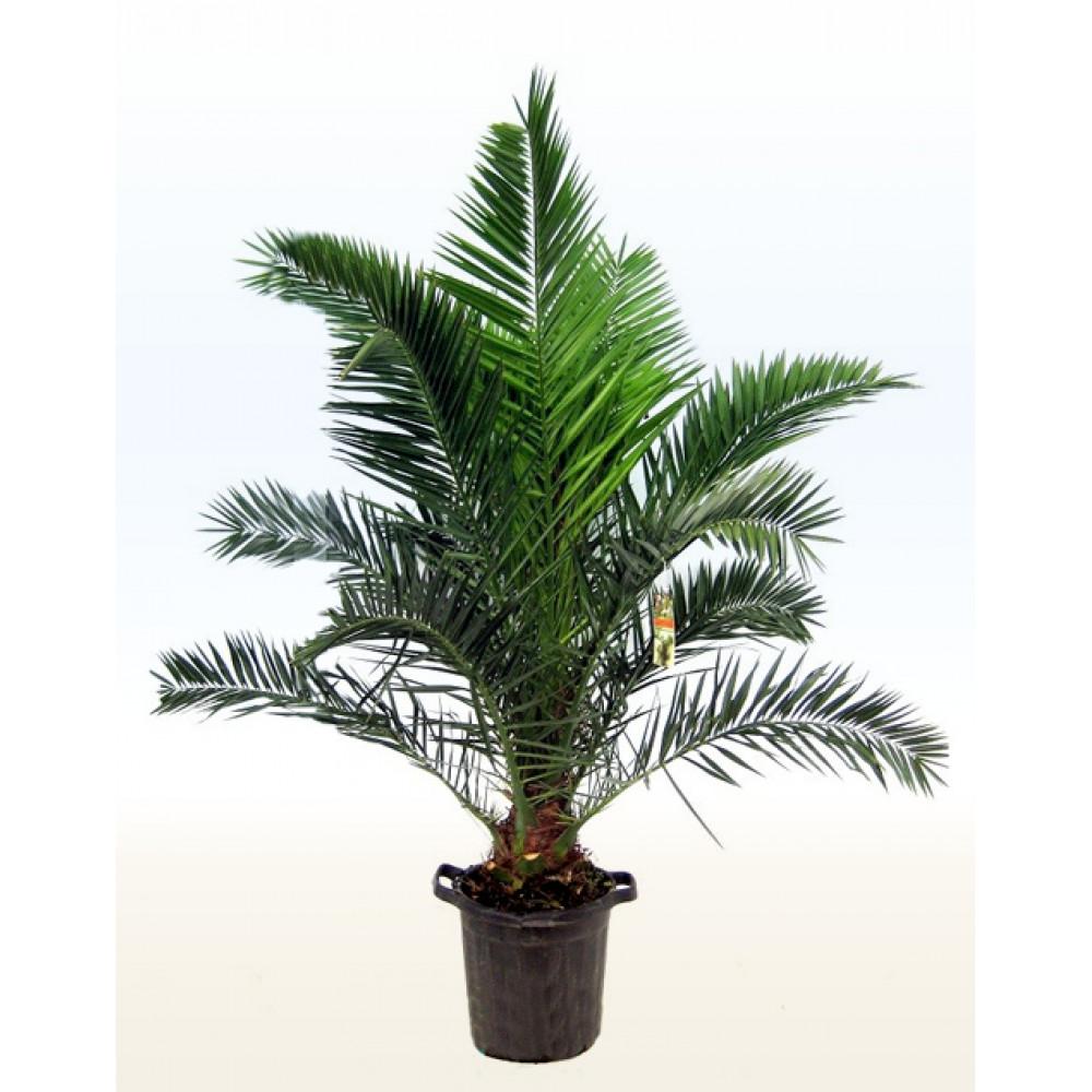 Финик Канарский, Финиковая пальма