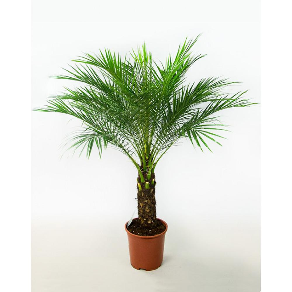 Date Canary, Date Palm