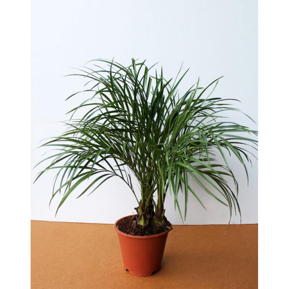 Robelena date palm